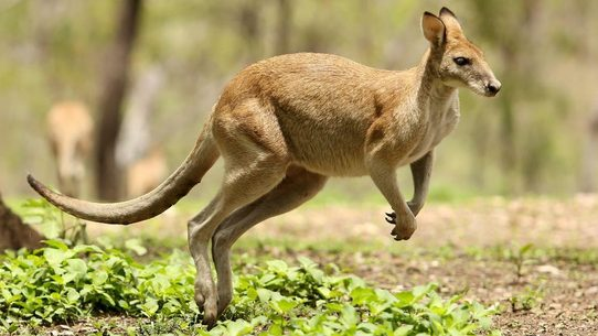 fact check were kangaroos added to a military simulation program