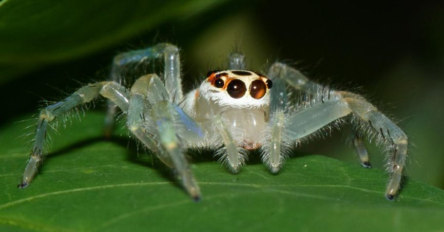 Fact Check Two Striped Telamonia Spider