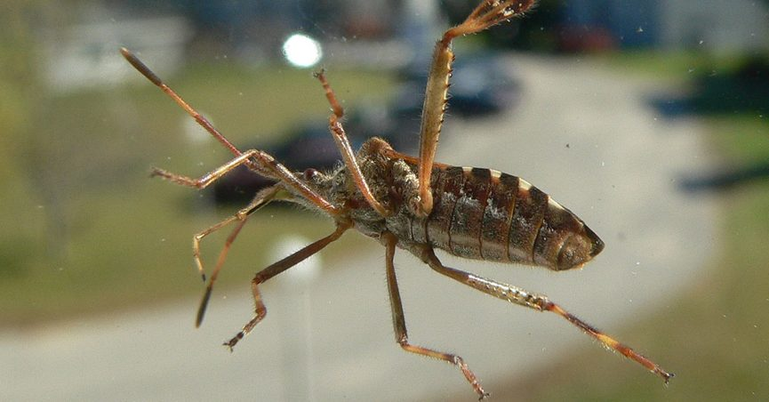 Fact Check Kissing Bugs Could Carry Disease Causing Parasites