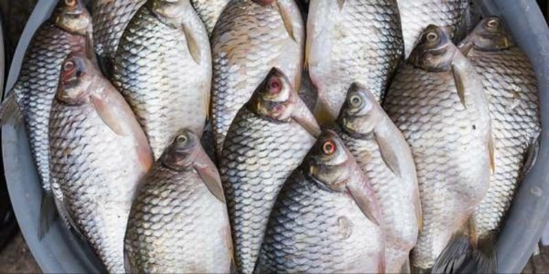 Fact check is farm raised tilapia from china dangerous to for What do tilapia fish eat