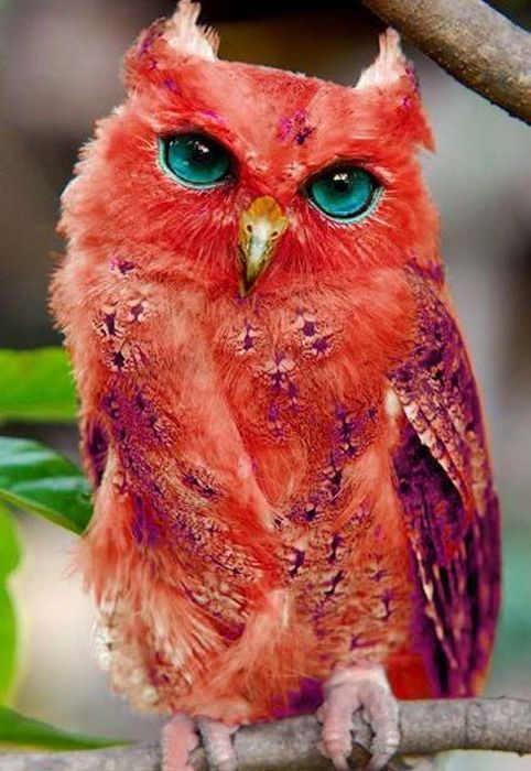 madagascar red owl - Picture Of Owl