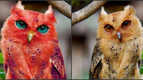 A Photograph Purportedly Showing Rare Red Owl With Blue Eyes Is Just The Latest In Digital Image Fakery