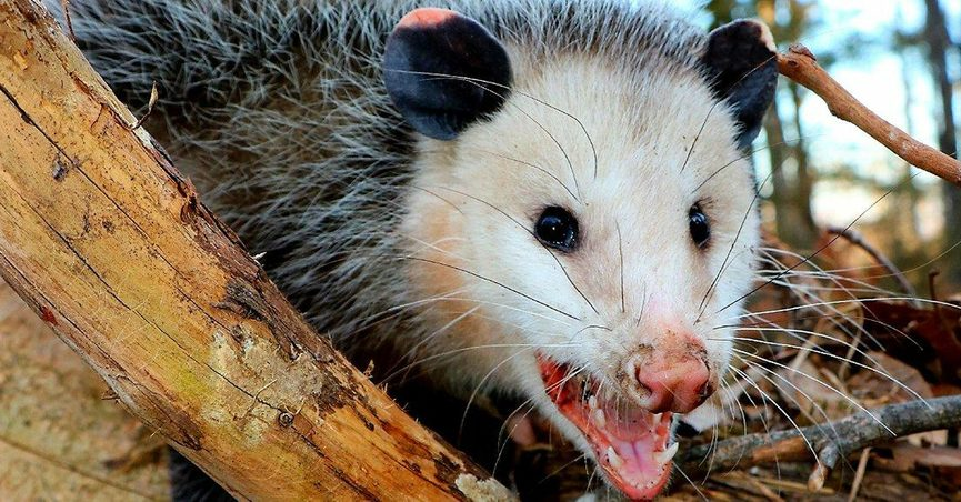 fact check  do opossums kill ticks  inhibit the spread of