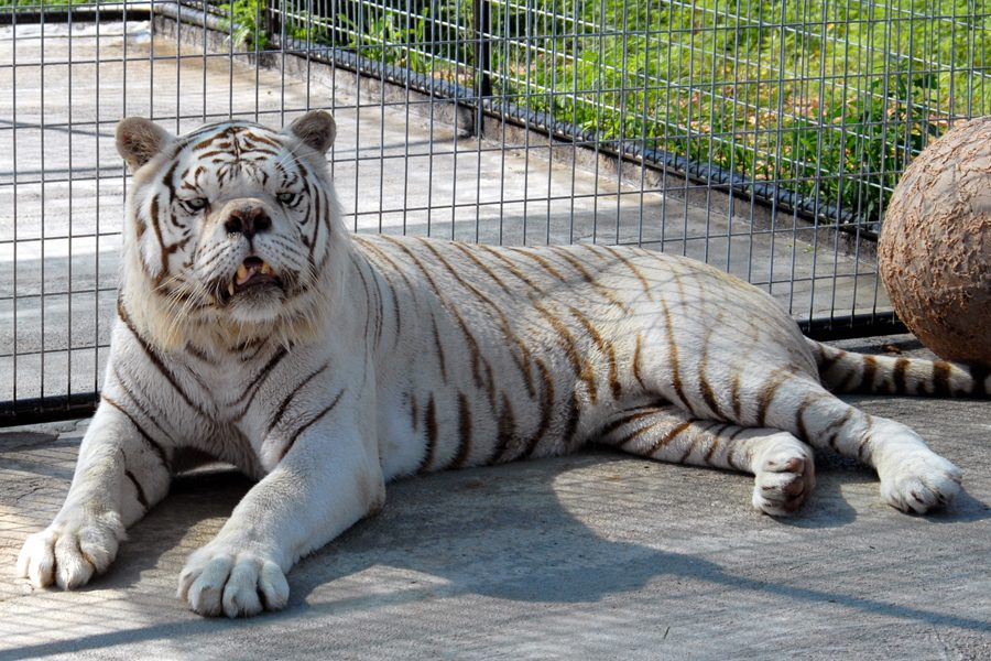 Photograph Shows Tiger with Down Syndrome?