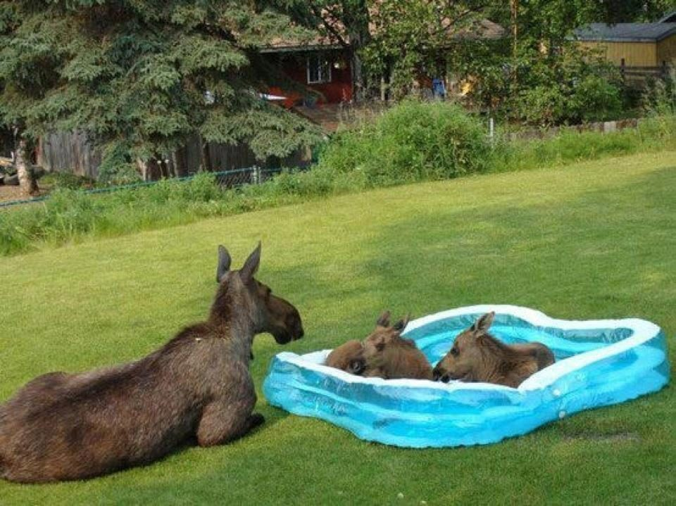 Fact check moose enjoy wading pool watch car fire for Baby garden pool
