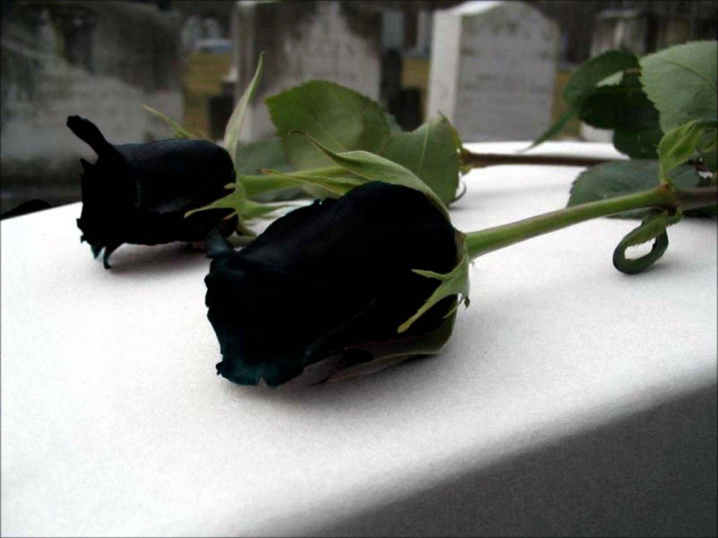 Fact check 39 rare black rose 39 only grows in a village in for How to make black roses