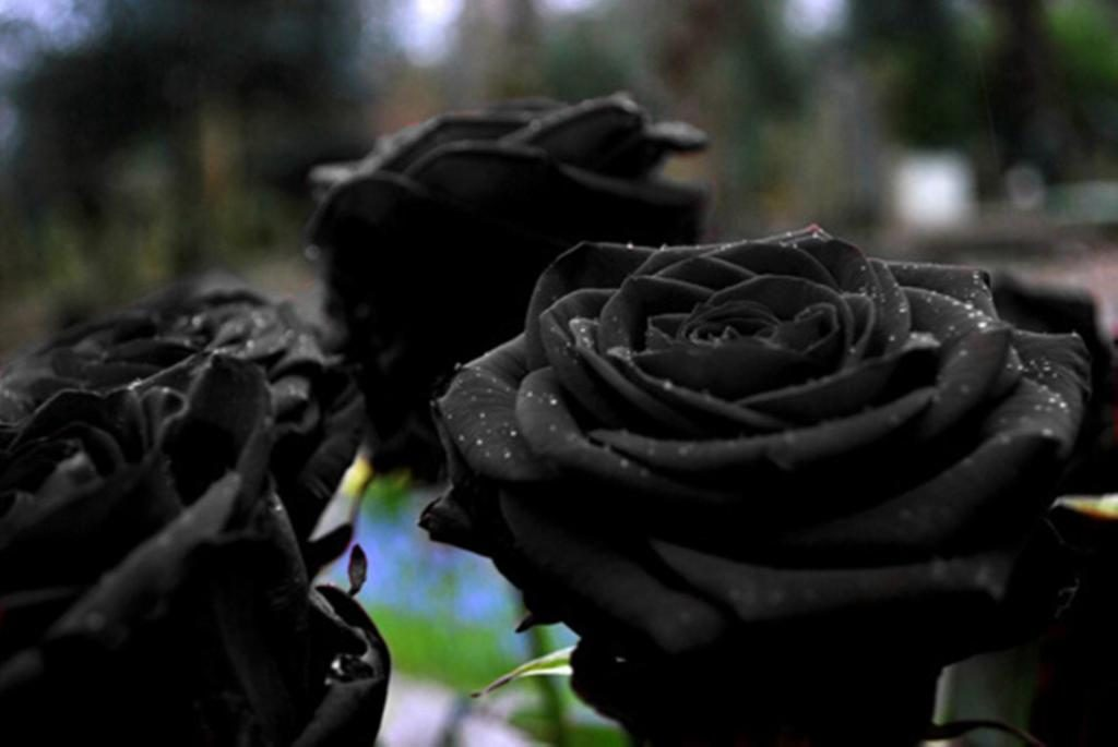Fact check 39 rare black rose 39 only grows in a village in for Do black roses grow naturally