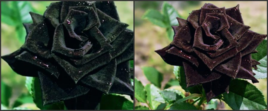 Black Roses Exist Naturally Only At Halfeti Turkey
