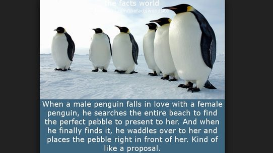 A Social Media Factoid About Penguin Courtship And The Perfect Pebble Does Not Reflect Birds Actual Mating Habits