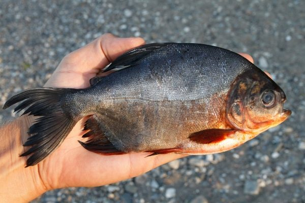 Red-bellied pacu