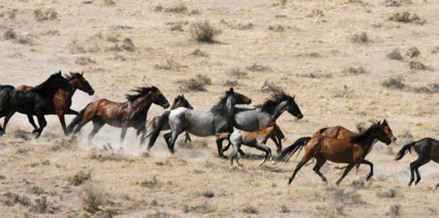 blms wild horse management essay Federal land managers, struggling to keep wild horse populations in check on western rangelands researchers would neuter wild stallions in the conger herd management area 70 miles west of delta.