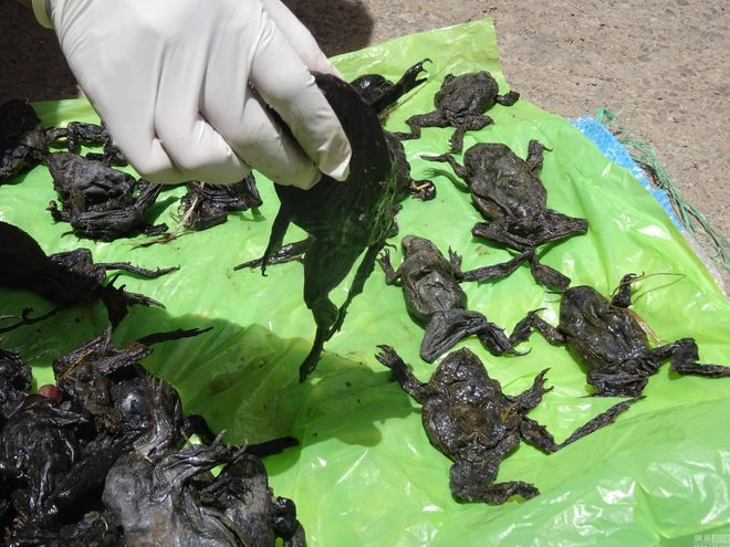 Dead wrinkly green frogs (Telmatobius culeus) collected by a National Forestry and Wildlife Service staff member on the Coata river bank, in Puno, Peru on October 17. Credit: AFP PHOTO / SERFOR / HO