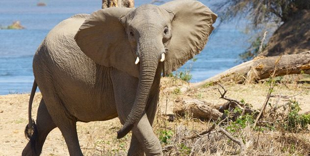 On 27 November 2018 Several News Outlets Reported That Thanks To A Form Of Artificial Selection An Increasing Number Elephants In Africa Are Now Born