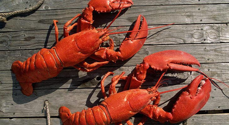 ME  restaurant sedates lobsters with marijuana smoke