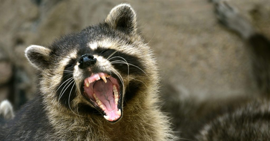Breathalyzer In Car >> FACT CHECK: Did a Drunken Sailor Use a Raccoon to Bypass an Ignition Interlock?
