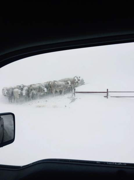 frozen cattle