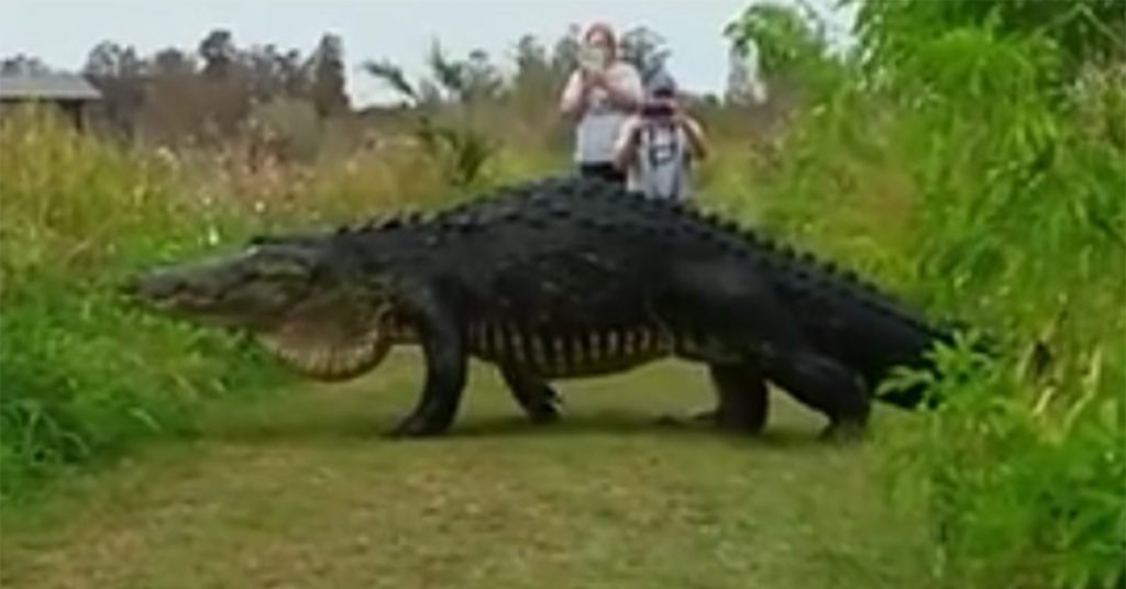 giant alligator spotted at florida nature preserve