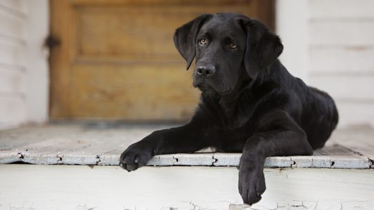 Fact check reggie the adopted lab shutterstock m4hsunfo