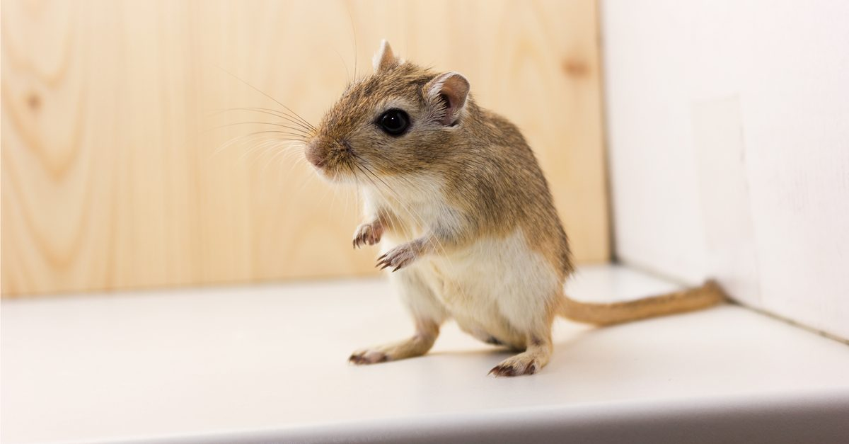 Emergency Room Gerbil