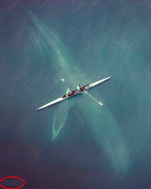 FACT CHECK: Huge Blue Whale Under a Rowboat?