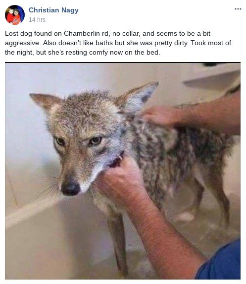 coyote dog?resize=600691 fact check was this coyote given a bath after being mistaken for