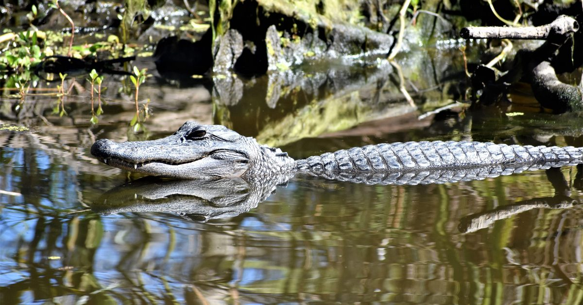 Police in New Jersey Search for Alligator on the Loose