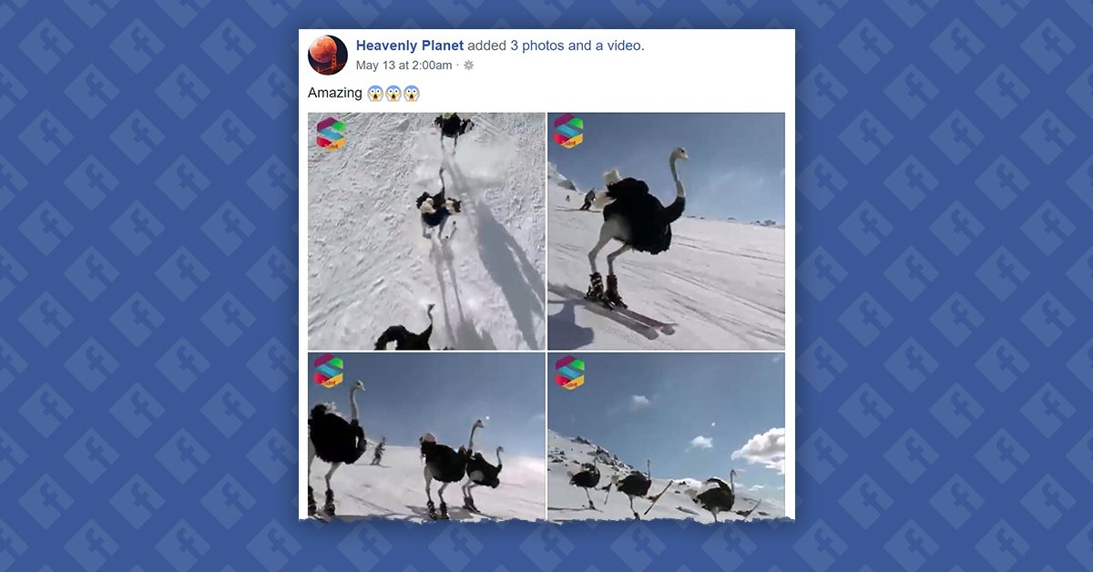 FACT CHECK: Are These Skiing Ostriches Real?