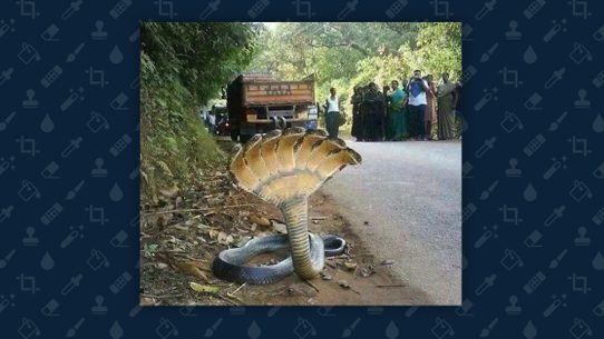 Fact Check Does This Photograph Show A 7 Headed Snake