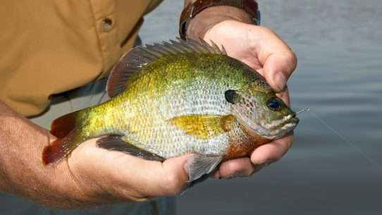 fact check is the bluegill one of the most dangerous fish in north