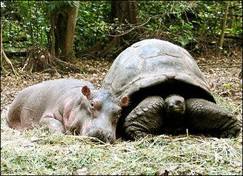 Baby hippo and tortoise