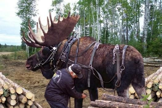 workmoose_small?resize=525350 fact check logging the northern way