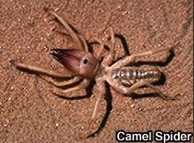 Claims of camel spiders being flesh-eating anesthesia-injecting beasts are folklore not reality so worry not that those serving in our country\u0027s armed ... & FACT CHECK: Camel Spiders