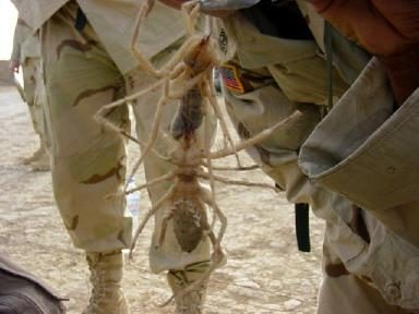 Click photo to enlarge & FACT CHECK: Camel Spiders